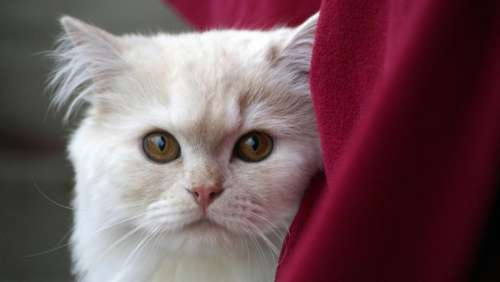 white cat pet animal red