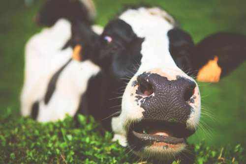 dairy cow animal milk green