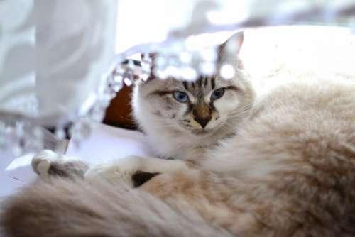 animals feline cats persian purebred