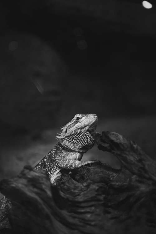 animals pet lizard iguana black and white