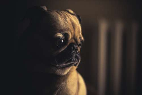 dog pug sleepy sad adorable