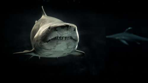 shark sea ocean fish animals