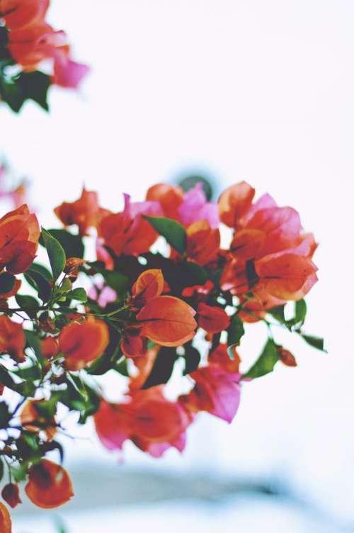 bougainvillea flower red petals garden