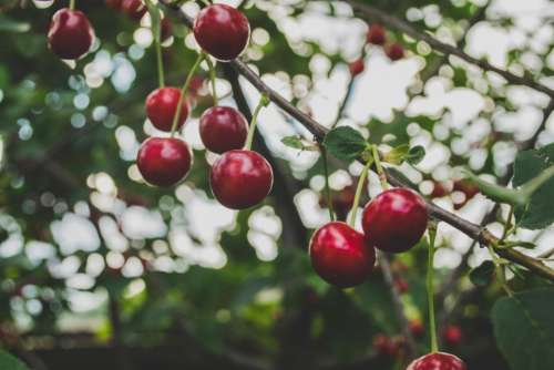 cherries fruits trees branches nature