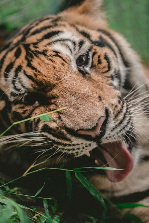 tiger animal wildlife nature bamboo