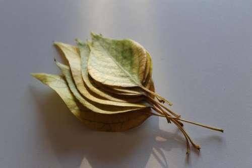 leaf plant fall autumn light