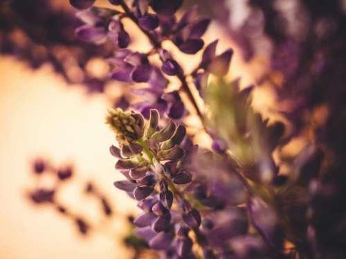 lupine purple plants garden nature