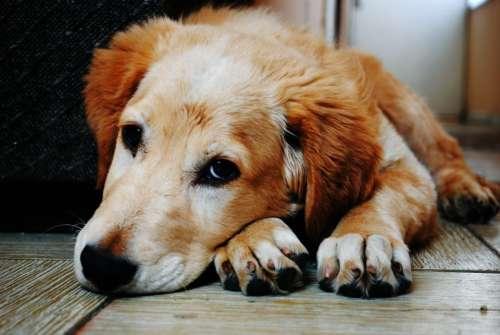 dog animal wooden floor fur