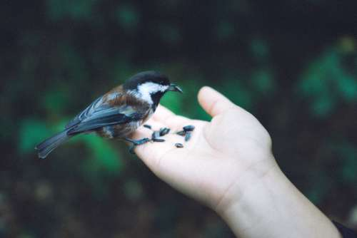 Chickadee bird hand nature green