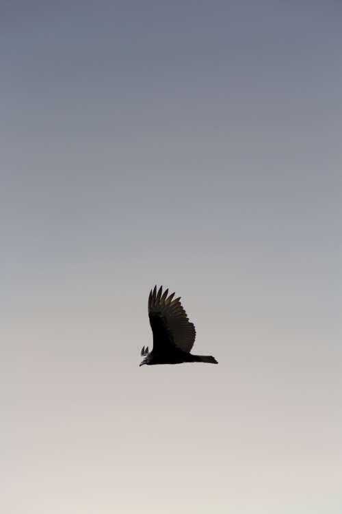 bird flying sky animal nature