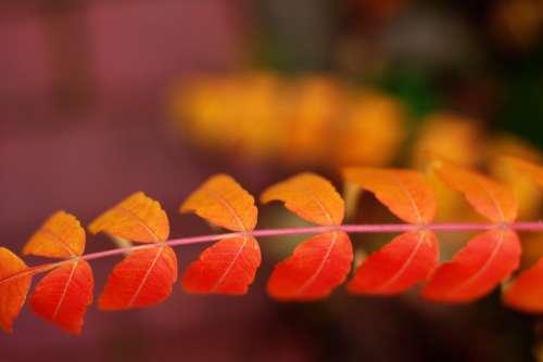 orange red leaves atumn fall
