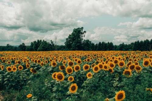 sunflower field summer spring yellow