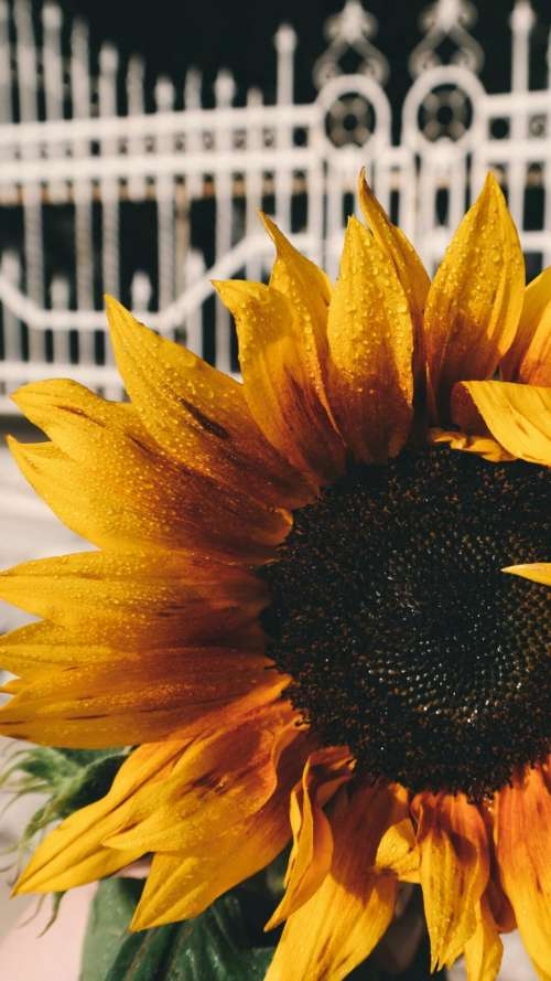 sunflower petals plant nature yellow