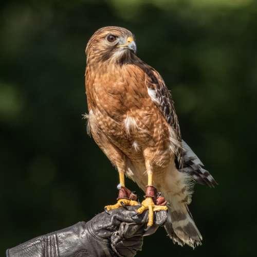 hawk hand glove perching falcon