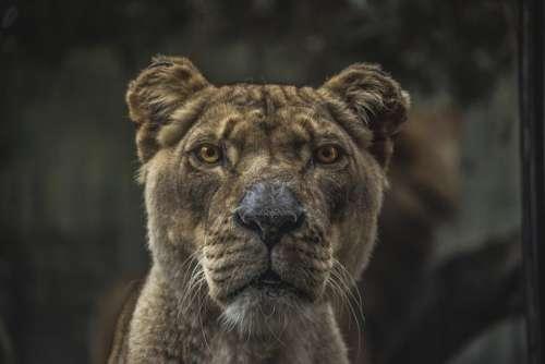 animals feline cats lions fierce
