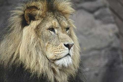 lion rock wildlife forest stone