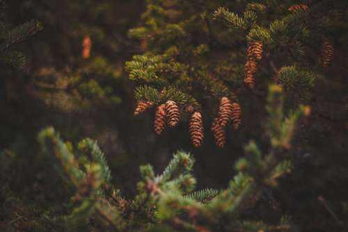 pine cone green tree plant