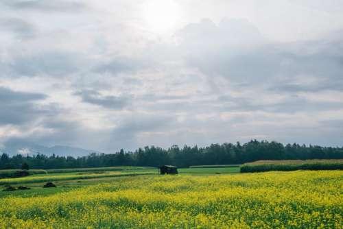 field green grass yellow flowers nature