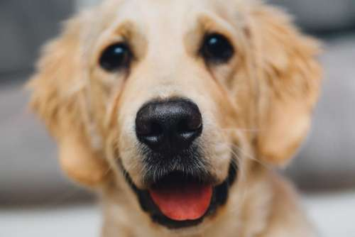 golden retreiver dog pet animals nose