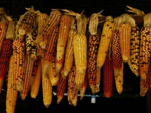 food crop harvest corn kernels