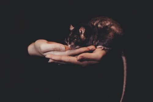 dark rat mouse animal hand