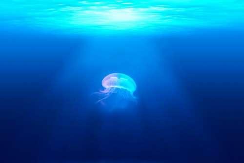 jellyfish underwater ocean sea blue