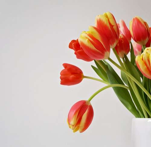 tulip flowers vase minimal background