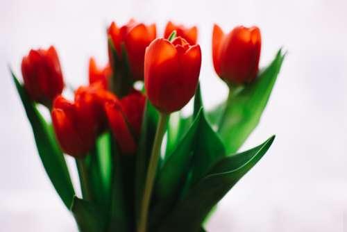red orange tulips flowers fauna