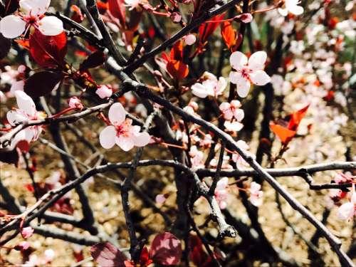 tree flower branch nature cherry