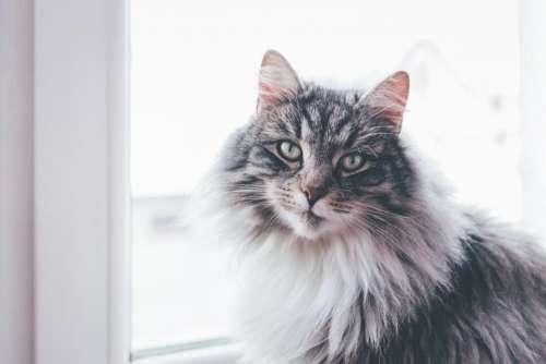 cat animal pet fur pane