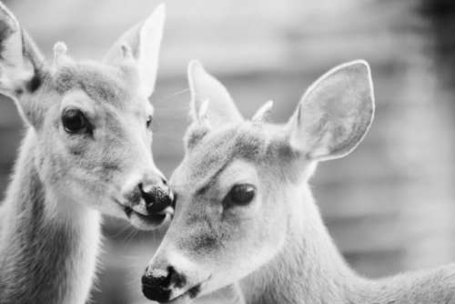 black and white deer animal wildlife