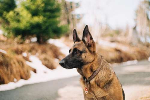 german shepherd pet animal friend security