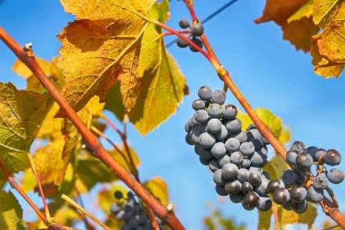 blue sky garden field grape