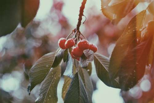 red fruit cherry fresh tree