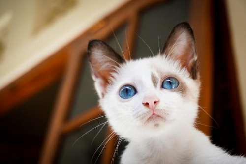 house cat white blue eyes