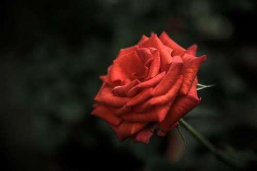 red rose flower garden nature