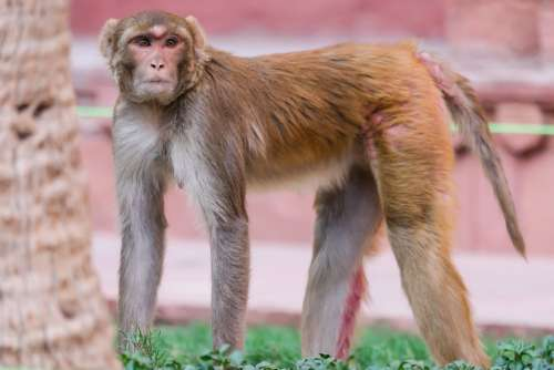 Rhesus Macaque at Red Fort, India