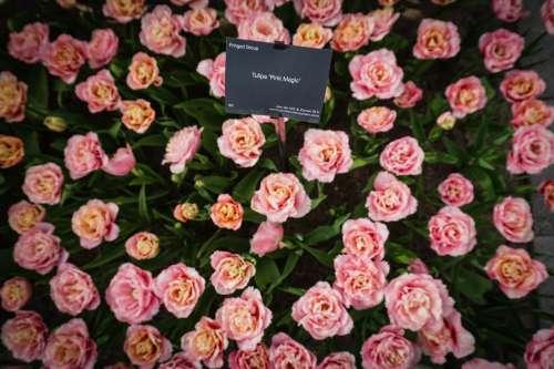Tulip Pink Magic, Keukenhof