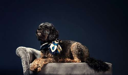 A Black And Curly Haired Pooch In A Shiny Necktie Photo