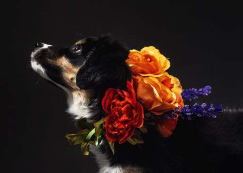 A Black And Tan Dog With A Flower Necklace Photo