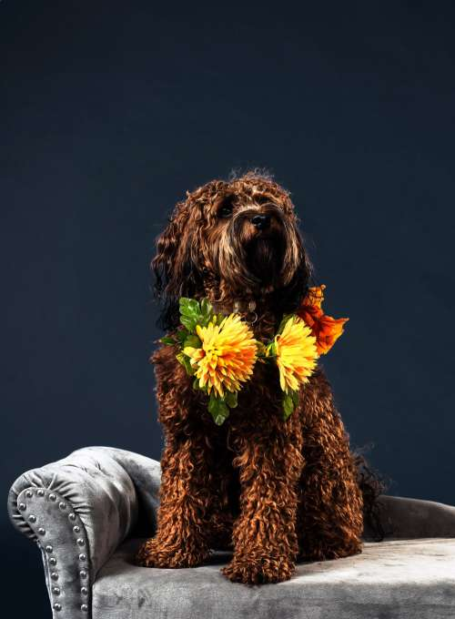 A Curly Furry Brown-Haired Dog Photo