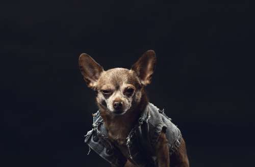 A Greying Chihuahua In A Denim Jacket Photo