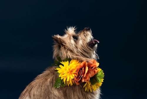 A Sandy Dog With Summer Flowers Around His Neck Photo