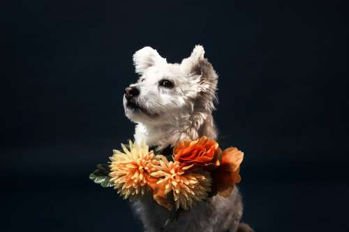 A White Little Dog In A Flowery Scarf Photo