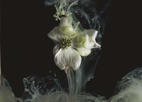 A White Silky Flower Spills White Tendrils Of Smoke Photo