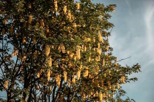 Golden Chains Photo