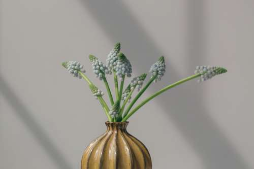 Grape Hyacinths In Vase Photo