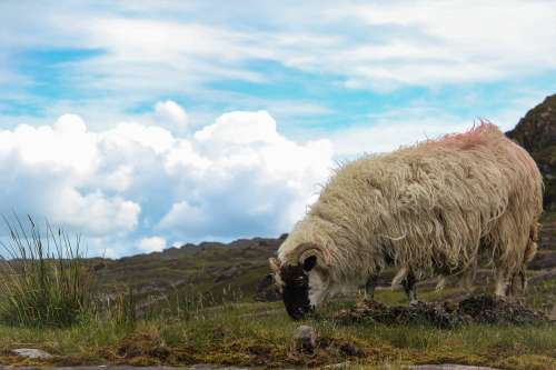 Irish Sheep Grazes Photo