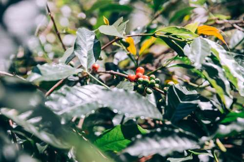 Leaves And Branches Of Lush Green Trees With Fruit Photo