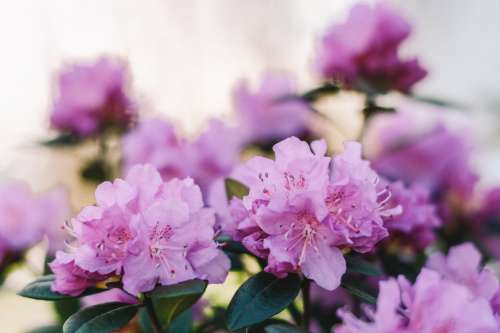 Pink Rhododendron Blossoms Open In Spring Sunshine Photo
